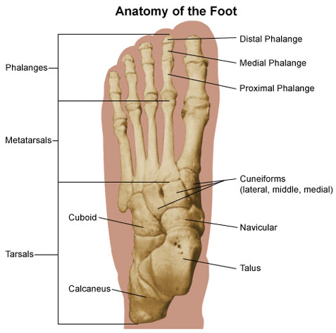 macon physical therapy - foot & ankle, Human Body